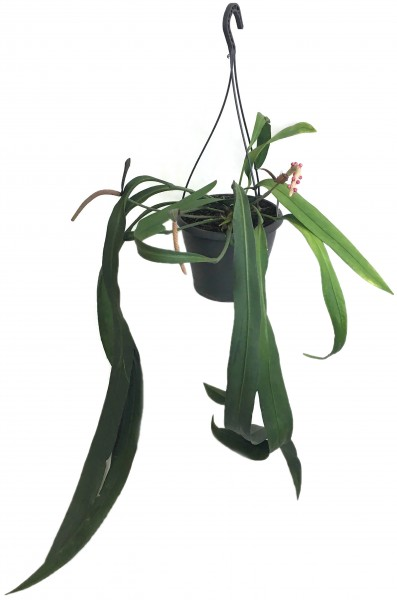 Anthurium Vittarifolium - gigantische Schweifblume
