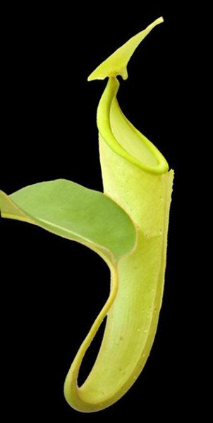 Nepenthes chaniana BE-3673