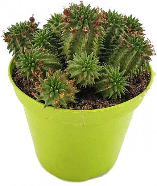 Euphorbia susannae Euphorbie sukkulente kaufen kaktee zimmerpflanze wolfsmilchgewächs
