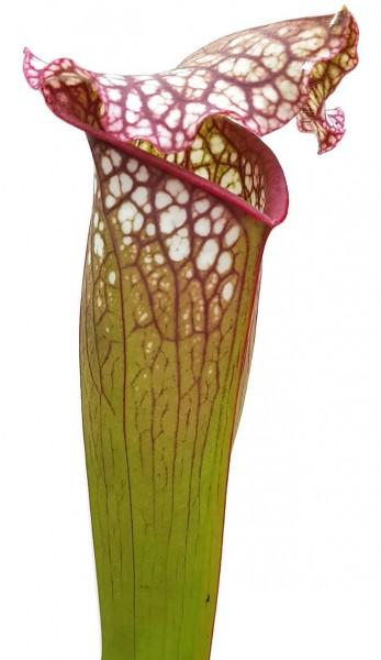 Sarracenia Leucophylla x 'Jutathip Soper' Klon 1
