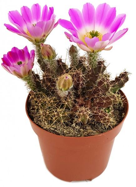 Echinocereus pentalophus - Kaktus