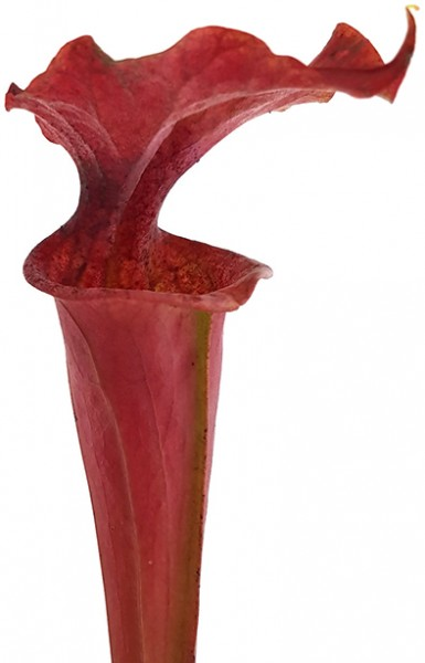 Sarracenia X Moorei 'Dusky Pink'