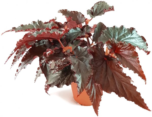 begonie black magic begonia