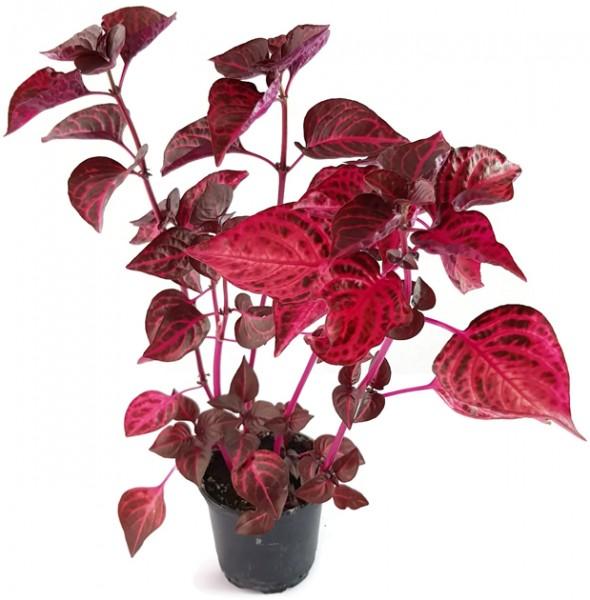 Iresine herbstii - Blutblatt