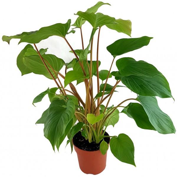 Homalomena rubescens 'Maggie' - Herzblattpflanze