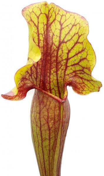 Sarracenia cv. `Vogel`