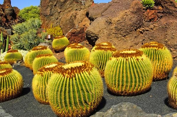 Echinocactus grusonii - frische Samen
