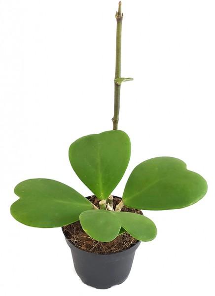 Hoya kerrii - Herzblattpflanze