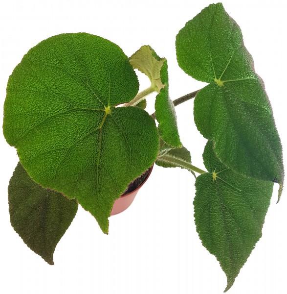 Begonia masoniana 'Jungle' - Begonie