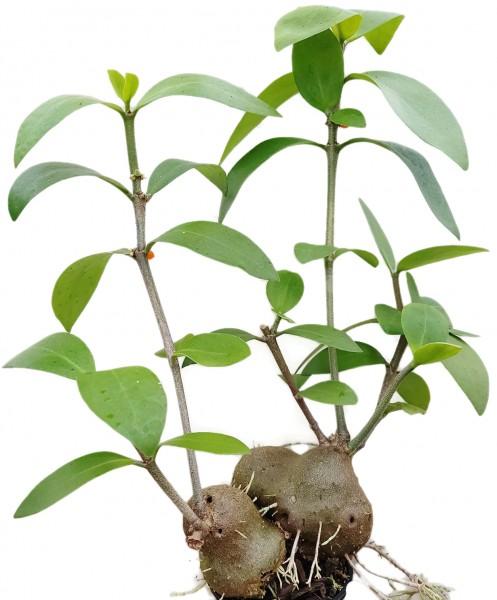 Hydnophytum mosleyanum - Ameisenpflanze