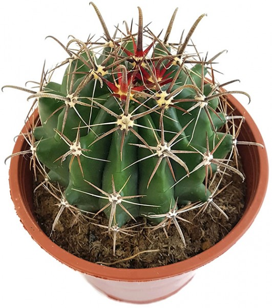 Ferocactus latispinus - Teufelszungen-Kaktus