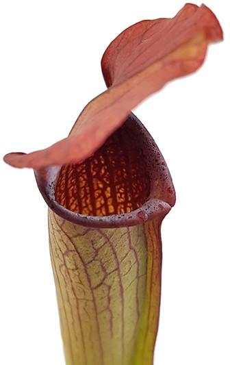 Sarracenia Rubra var. gulfensis 'FAT'