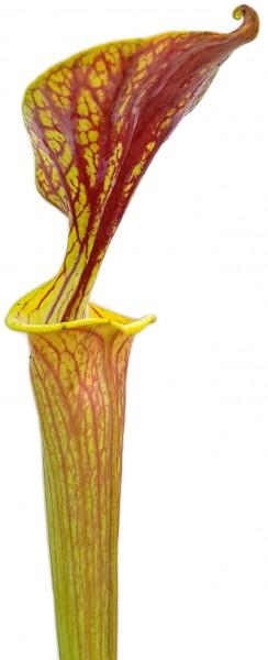 Sarracenia Flava var. Ornata Sandy Creek, Bay County, Florida