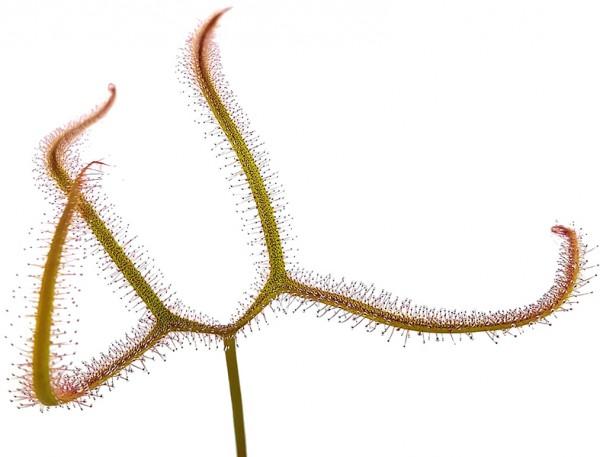 Drosera Binata var. Dichotoma 'Giant'