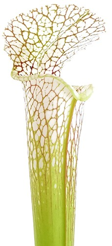Sarracenia Leucophylla 'Gulf Breeze' MK L95