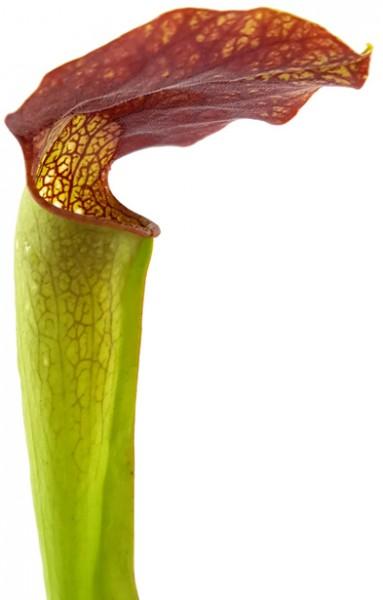 Sarracenia X 'Frogman'