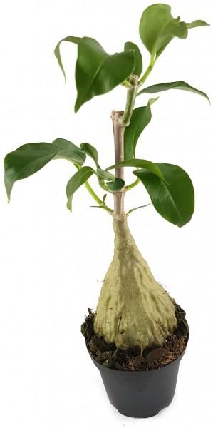 Hydnophytum simplex - Ameisenpflanze