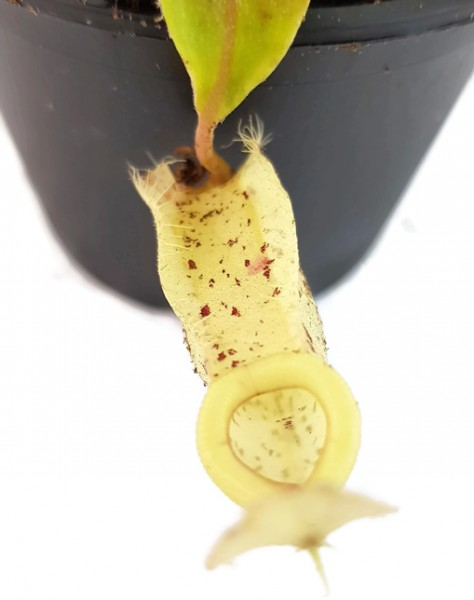 Nepenthes Hookeriana white kannenpflanze