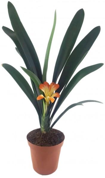 Clivia Hybride - gelb - orange Klivie - SALE ohne Blüte