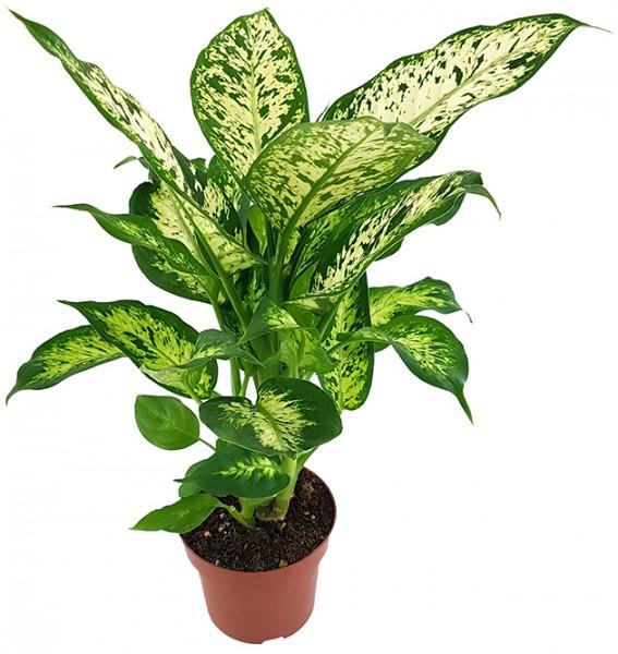 Dieffenbachia 'compacta' - Blattschmuckpflanze