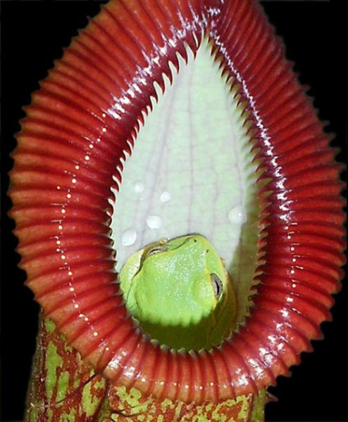 Nepenthes ventricosa x hamata BE-3899