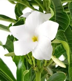 """Plumeria """"Lanna White"""" Frangipani - Tempelbaum"""