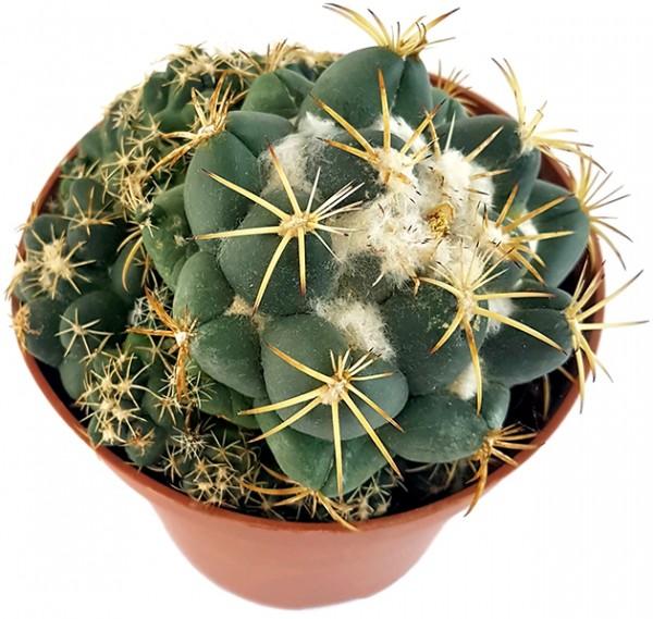 Coryphantha elephantidens - großwarziger Kaktus