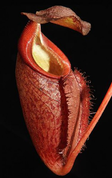 Nepenthes gymnamphora 'Talakmau Purple' BE-3078
