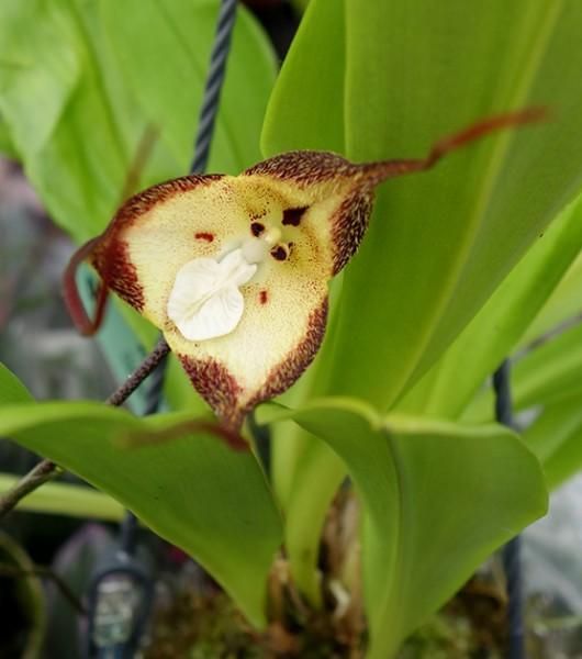 Dracula 'Cordobae' - Orchidee