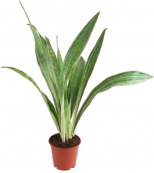 Sansevieria Aubrytiana metallica - silberner Bogenhanf