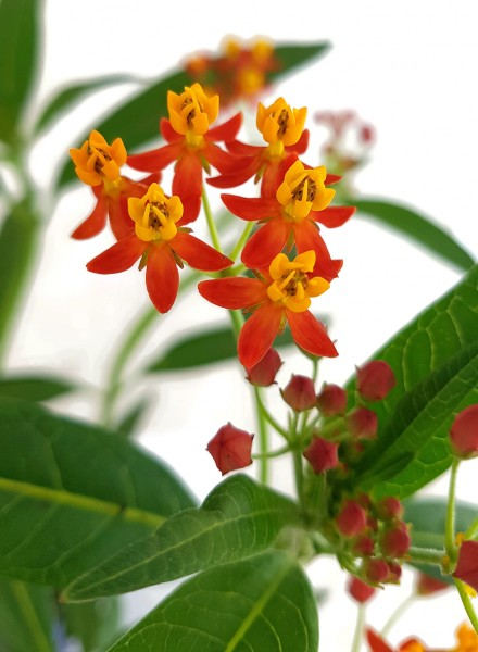 Asclepias curassavica - Indianer-Seidenpflanze