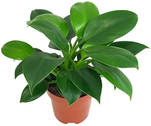 Philodendron 'Green Princess' - grüner Baumfreund
