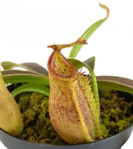 """Nepenthes Maxima """"Wavy Leaf"""" x Talangensis - aus Samen gezogen"""