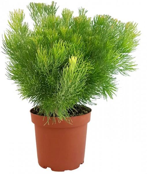 Adenanthos 'Woolly Bush' - buschige Gartenpflanze