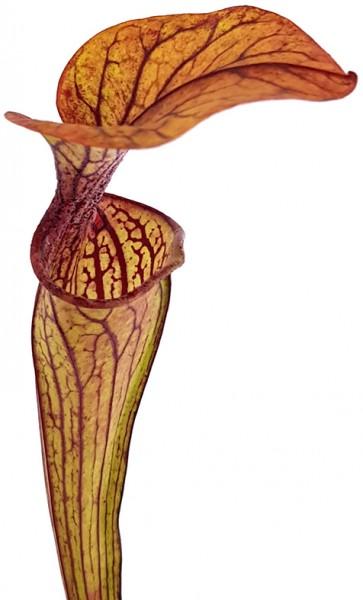 Sarracenia Oreophila MK O5 - Samen