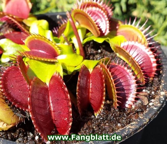 Dionaea Muscipula - 'Blutrot'