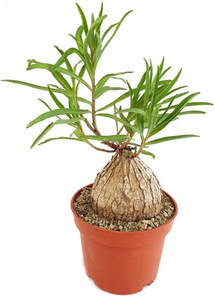 Euphorbia trichadenia - Caudexpflanze