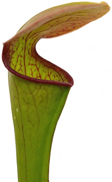 Sarracenia Minor var. Minor X Oreophila Slim Phyllodia