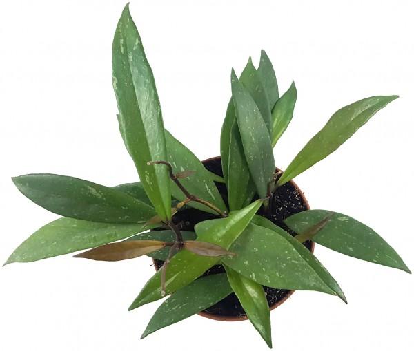 Hoya pubicalyx - Wachsblume