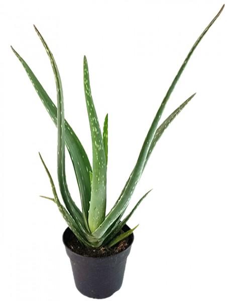 Aloe Vera - Heilpflanze mit Biosiegel