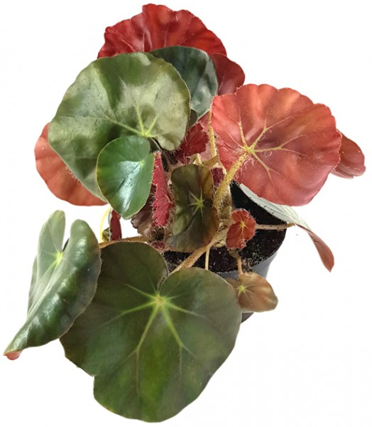 Begonia Erythrophylla Beefsteak - Begonie