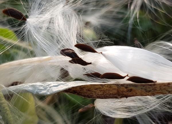 Ceropegia Sandersonii Leuchterblume Laternenblume Samen aussaat Saatgut selten besonders