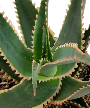 "ALOE cv. ""Red Dragon"" - Sukkulente"