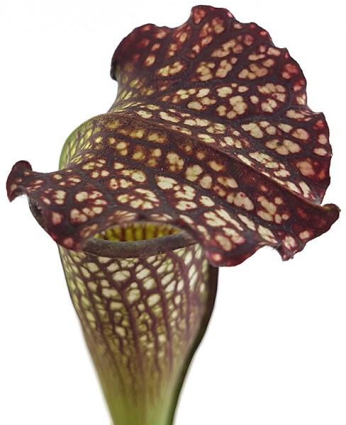 Sarracenia X Areolata 'Supercolor'