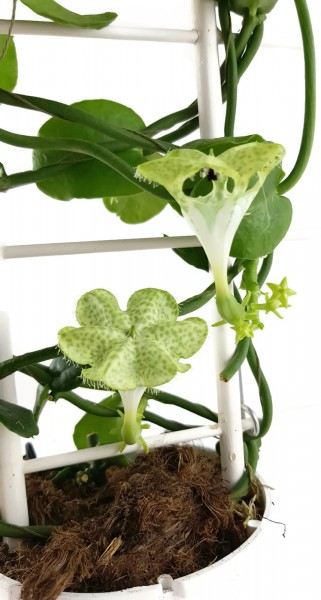 Ceropegia sandersonii - Leuchterblume