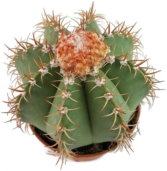 Samen Melocactus matanzanus - Melonenkaktus