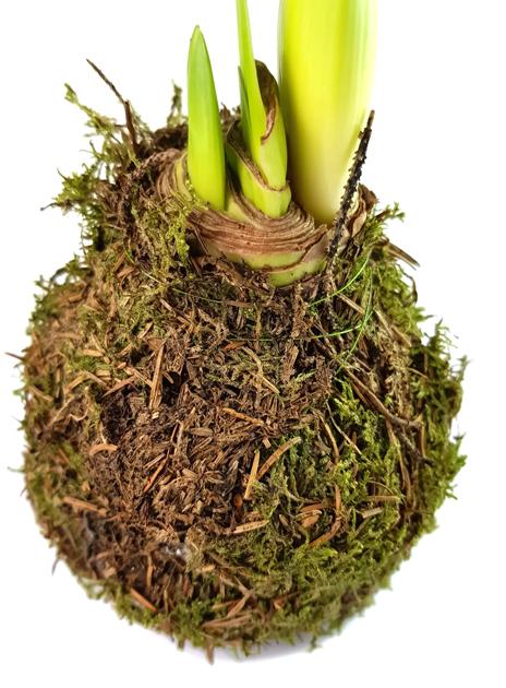 amaryllis mit moos fantastische dekoration f r den herbst kaufen fangblatt karnivorenshop. Black Bedroom Furniture Sets. Home Design Ideas