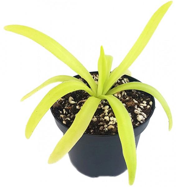 Pinguicula gigantea 'Alba' x moctezumae - seedgrown