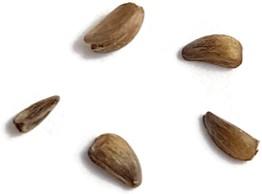 Hydnophytum Formicarum - Ameisenpflanze Samen