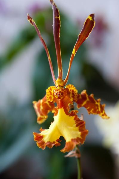 Psychopsis Mariposa - Orchidee